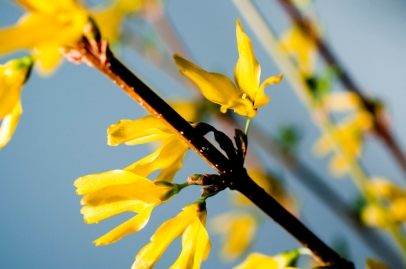 Forced forsythia branches in bloom.